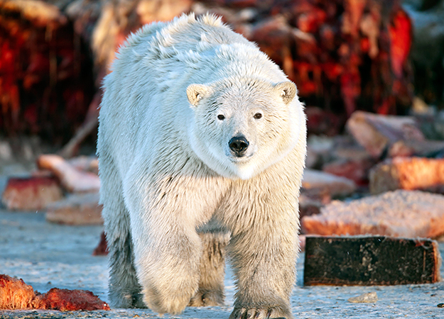 north-america-polar-bear-625x450