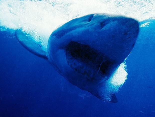 shark-myths-1-622x468