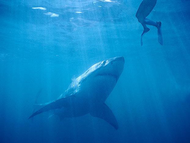 shark-myths-2-622x468