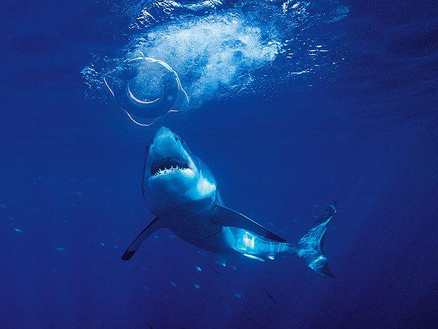 shark-myths-6-622x468