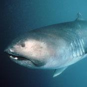 top-10-quirkiest-sharks2