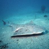 top-10-quirkiest-sharks3