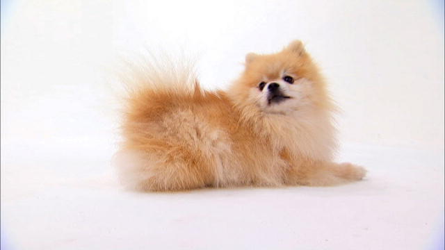 Pomeranian  Dogs 101  ...