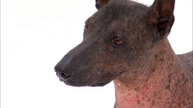 Xoloitzcuintli  Dogs 1...