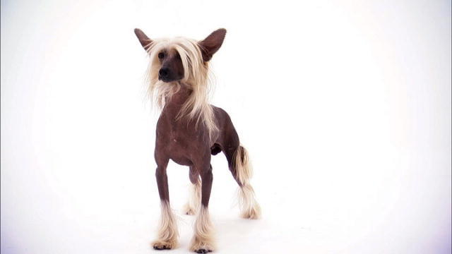 Chinese Crested Food Allergy