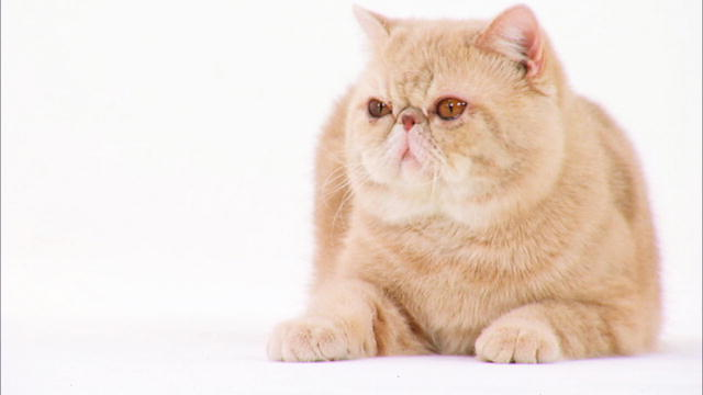 exotic macska az Asia Centerben