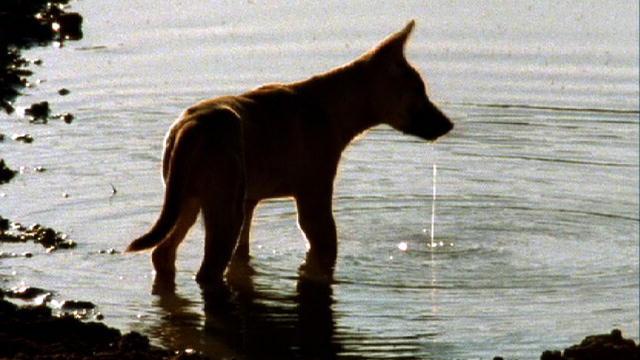 Dingo   Dogs 101   Animal