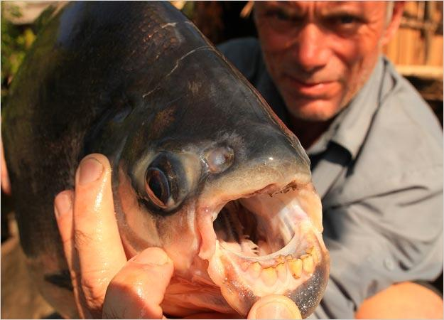 Red-Bellied Pacu Pictures | River Monsters | Animal Planet