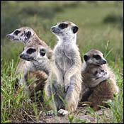 about-meerkat-manor0