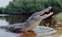 alligator-250x150