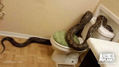 apl-bites-blog-python-in-tub-500w Animal Planet Snake House on snakes in siding of house, snake-infested house, snake den under house, snakes in your house, snakes found in house,