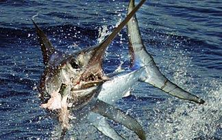 broadbill-swordfish0