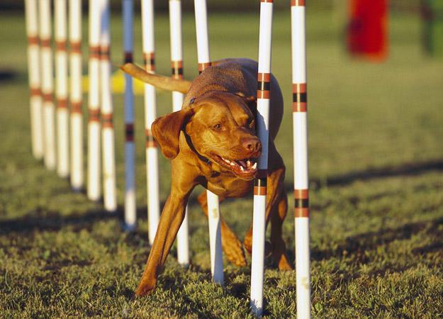 dog-agility0