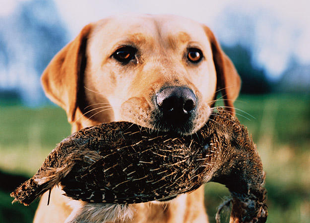 dog-field-training0