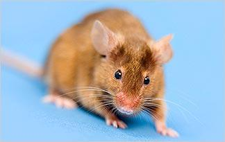 fear-of-mice-or-rats-musophobia0