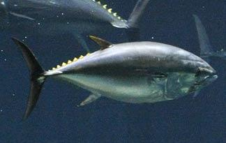 giant-bluefin-tuna0