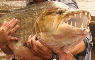 goliath-tigerfish0