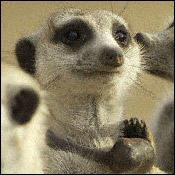 meerkat-about-new0