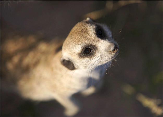 meerkat-family-mitch0