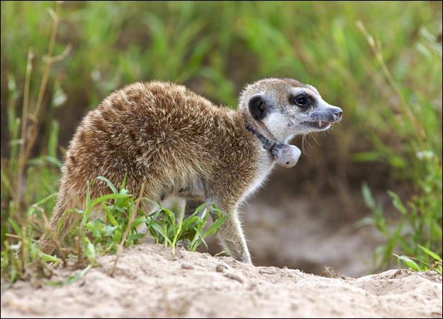 meerkat-family-nikita0