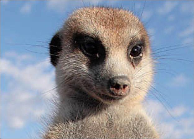 meerkat-family-seacrest0