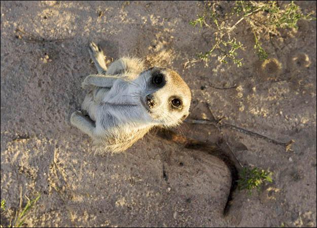 meerkat-family-sophie0