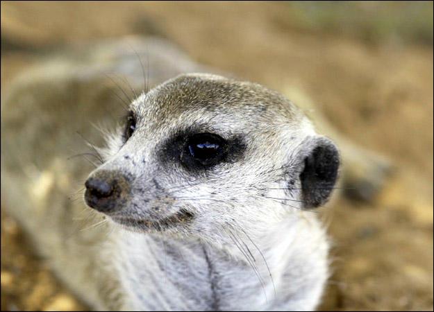 meerkat-family-zaphod0