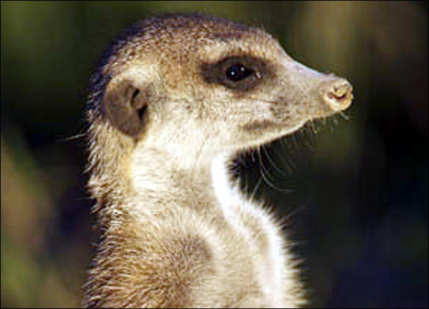 meerkat-family-zorro0