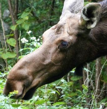 moose-344x349