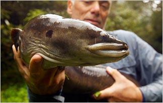 new-zealand-longfin-eel0
