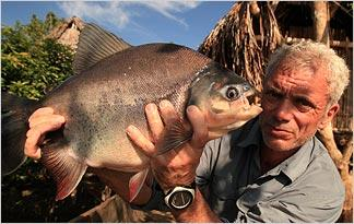 red-bellied-pacu0