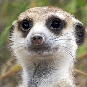 songs-meerkat-dance0