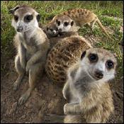 songs-meerkat-family-reunion0