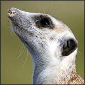 songs-meerkat-sinatra0