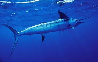striped-marlin0