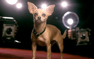 5-surprising-chihuahua-facts3