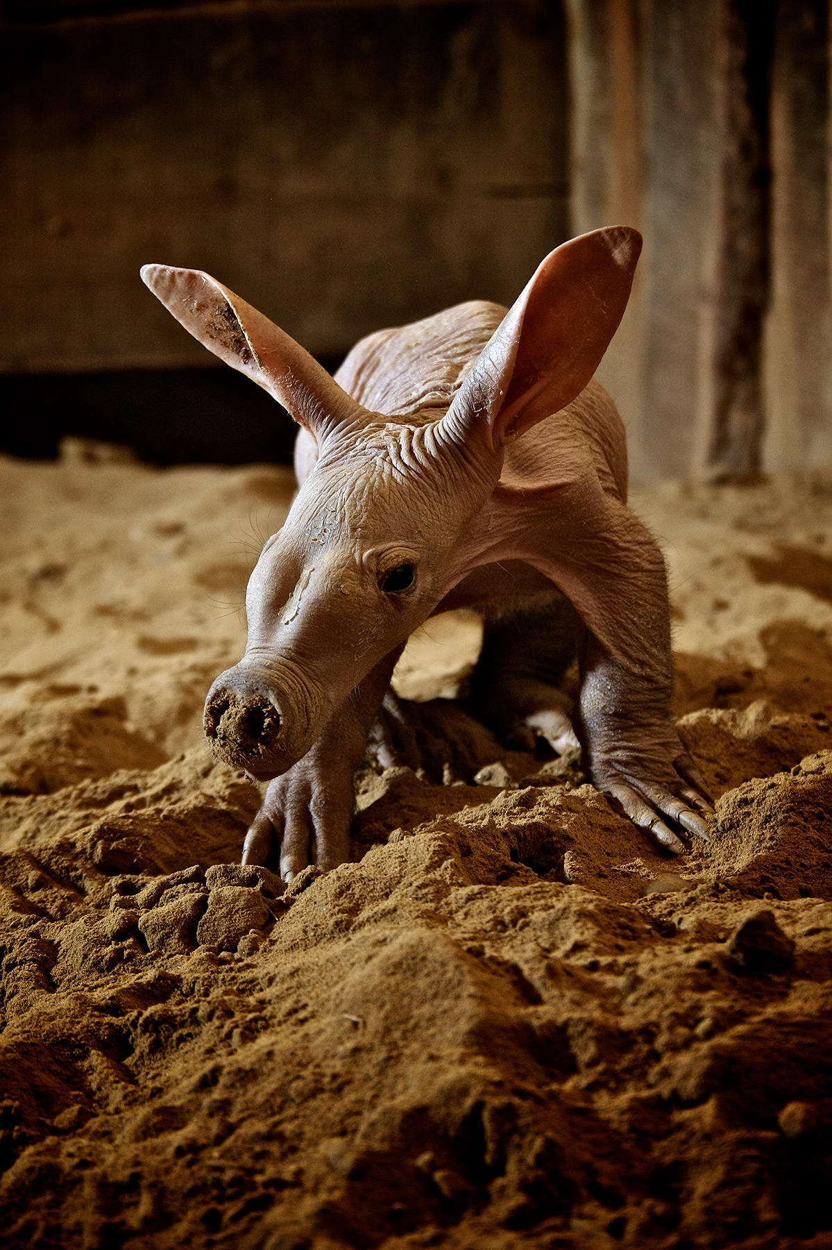 Aardvark animal planet - How do you make wild animal in little alchemy ...