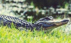 aligator-little-debbie-2600w-250x150