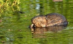 beaver-little-debbie-2600w-250x150