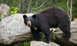 black-bear-little-debbie-2600w-250x150