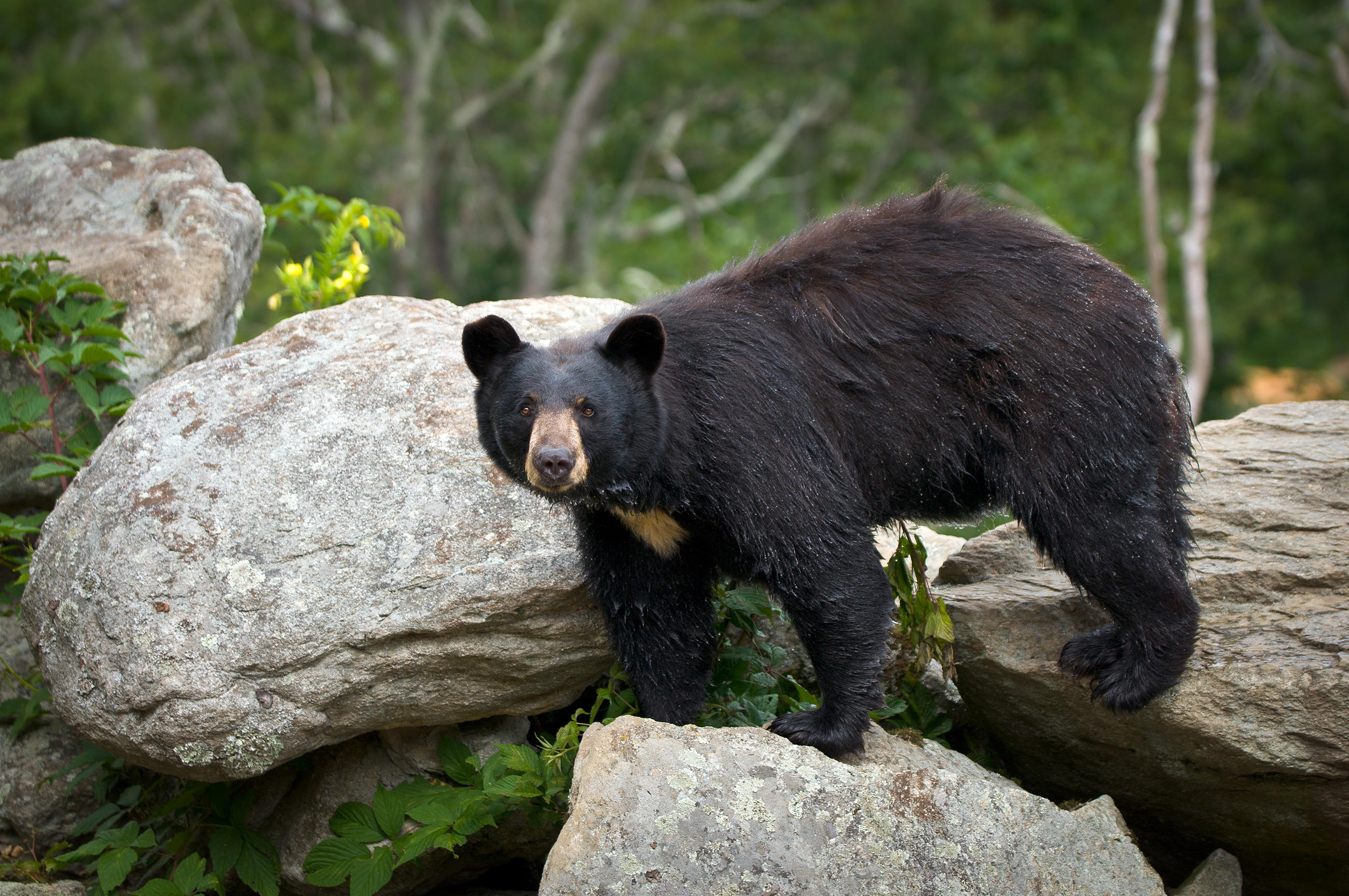 black-bear-little-debbie-2600w