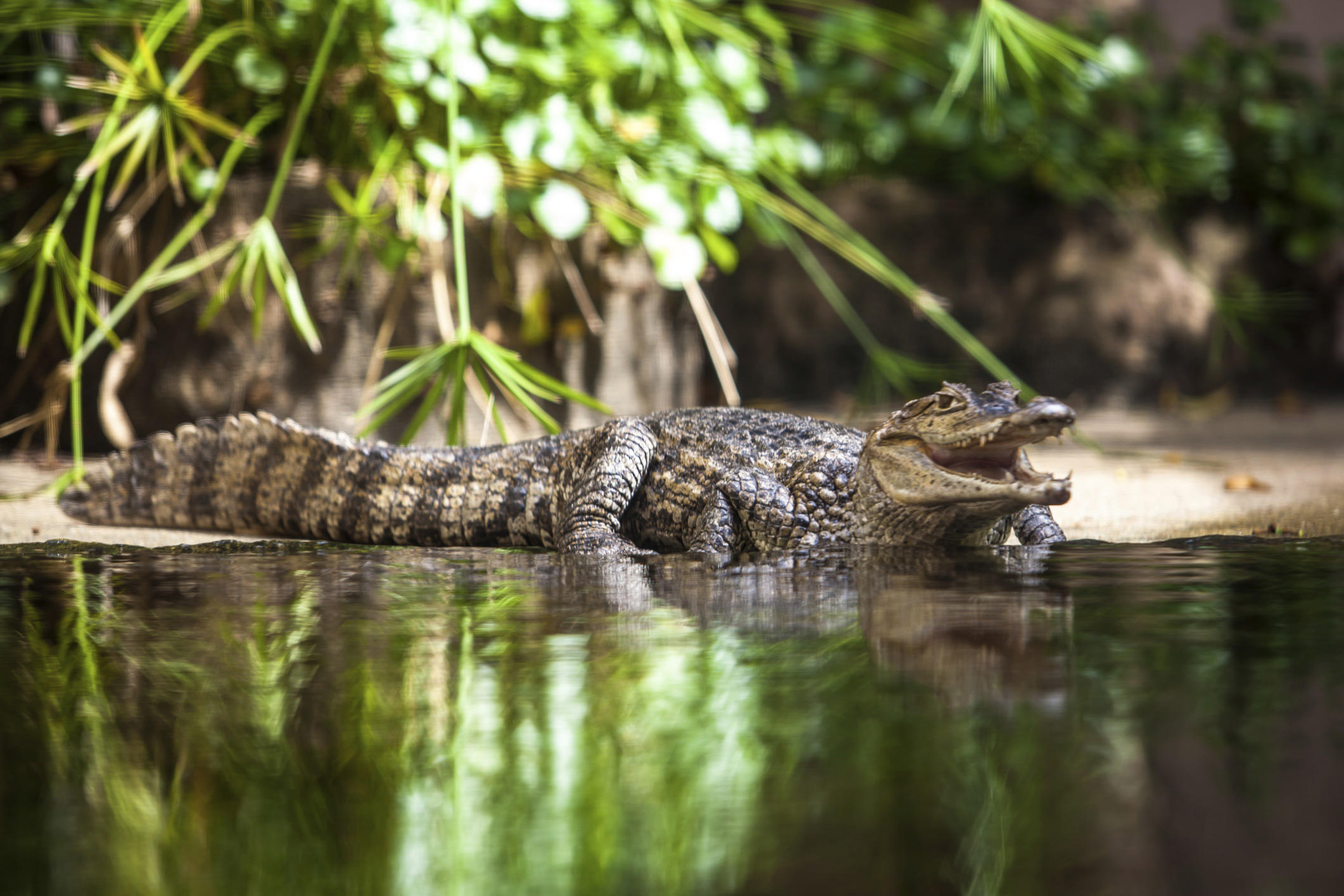 Caiman animal planet - How do you make wild animal in little alchemy ...