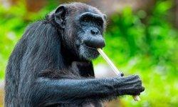chimpanzee-little-debbie-2600w-250x150