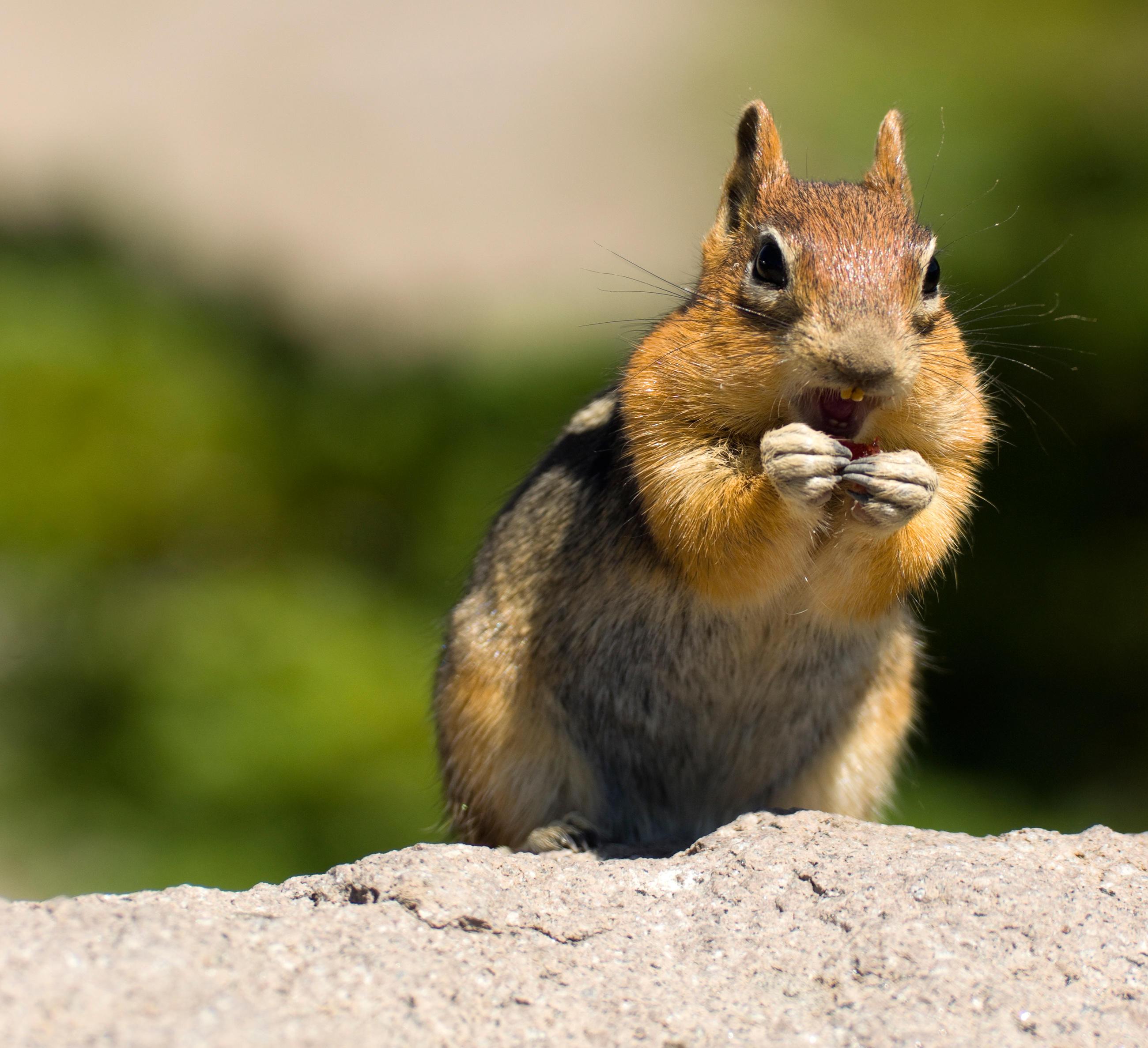 chipmunk-little-debbie-2600w