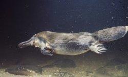 duckbill-platypus-little-debbie-2120w-250x150