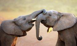 elephant-little-debbie-2600w-250x150