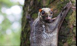 flying-lemur-little-debbie-2310w-250x150