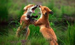 fox-little-debbie-2288w-250x150-1