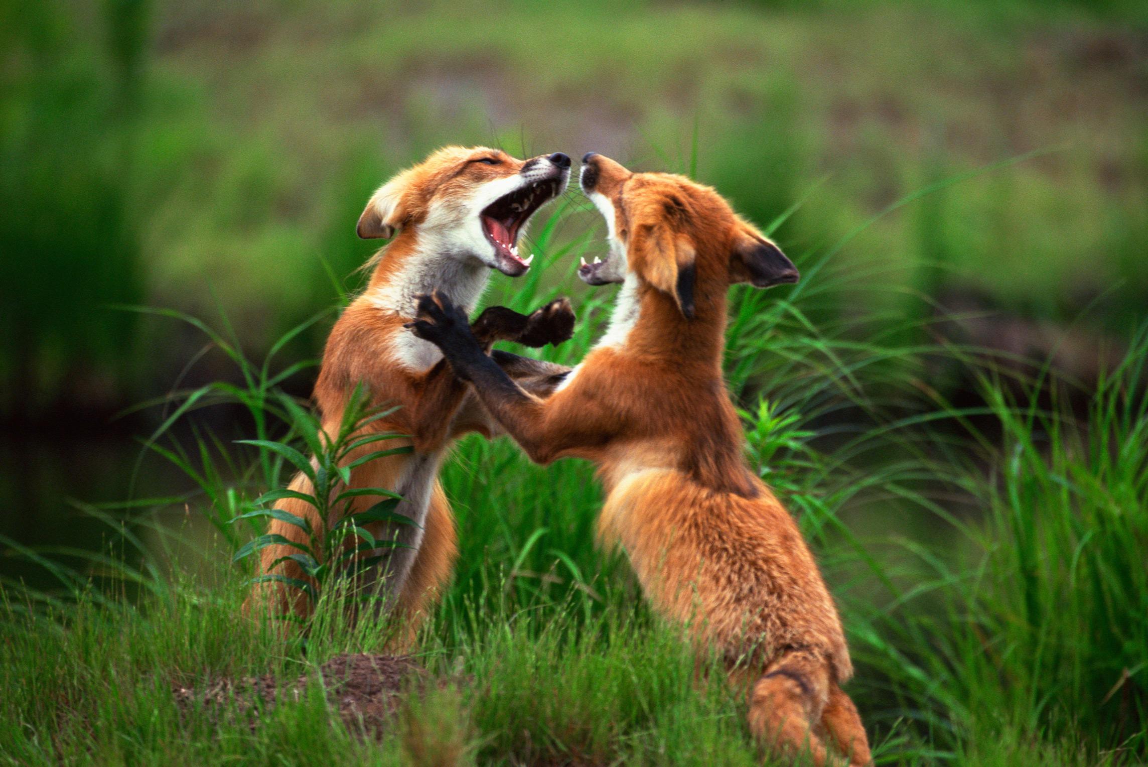fox-little-debbie-2288w