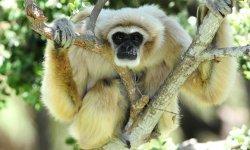 gibbon-little-debbie-2600w-250x150